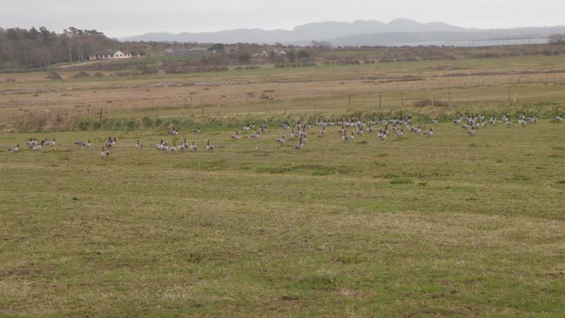 Barnacle Geese Flock in Co. SligoImage by Michael Martyn