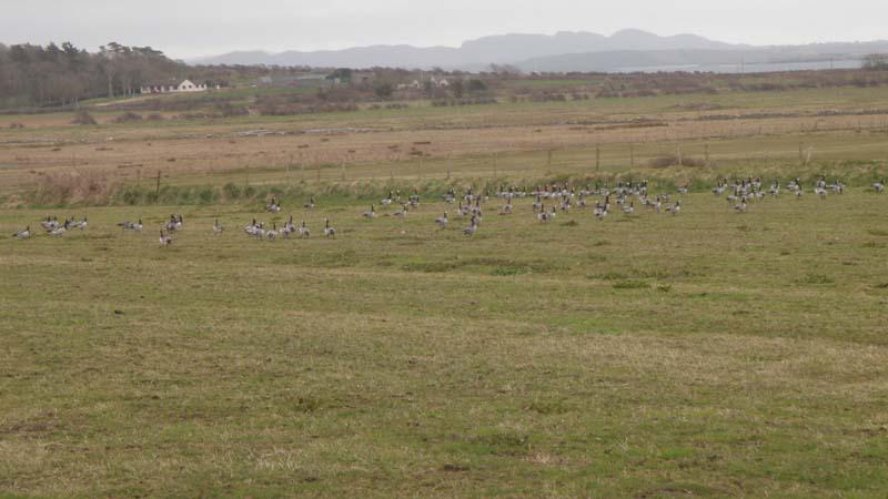 Barnacle Geese Flock in Co. SligoImage by Michael Martyn