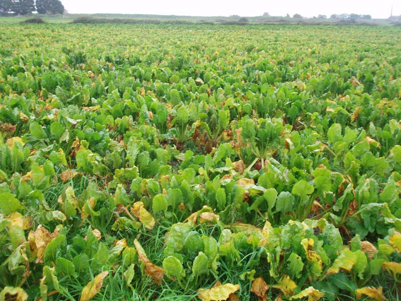 Beet Crop sown for geeseImage by Michael Martyn