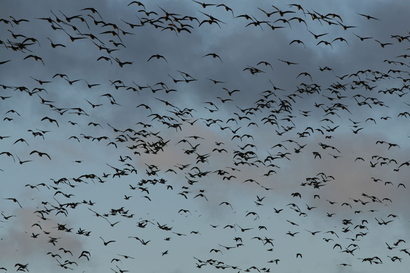 Brent flockImage by Andrew Speer