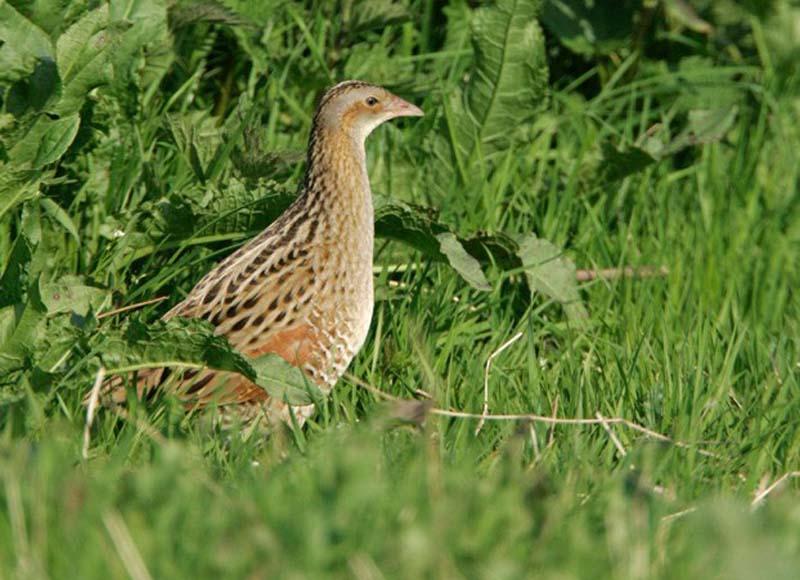 Marty Meadows >> Corncrake,corncrake ireland,corncrakes in ireland,corncrake bird