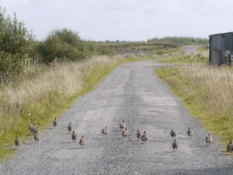 Grey Partridge Covey Image byShane Sweeney