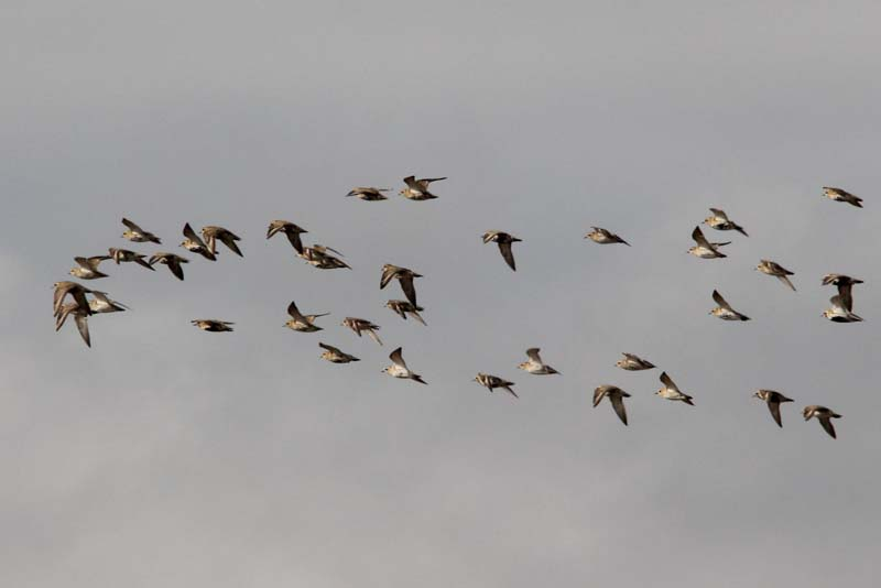 Golden Plovers in flight