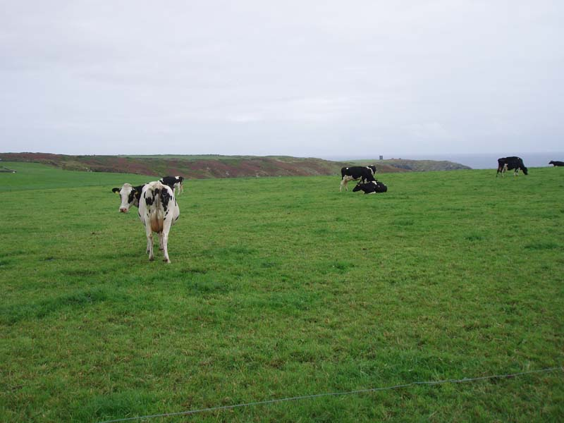 Improved Grassland Dairy cowsImage by Michael Martyn