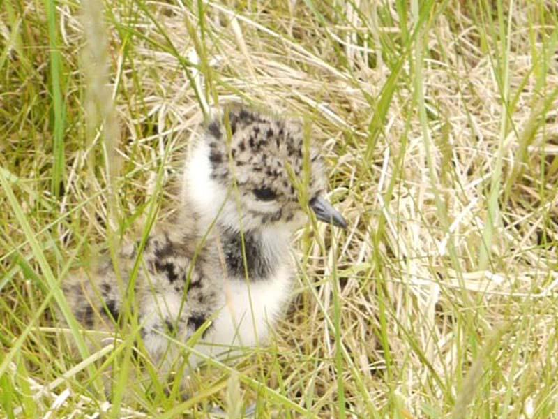 Lapwing Chick at Boora Image byShane Sweeney