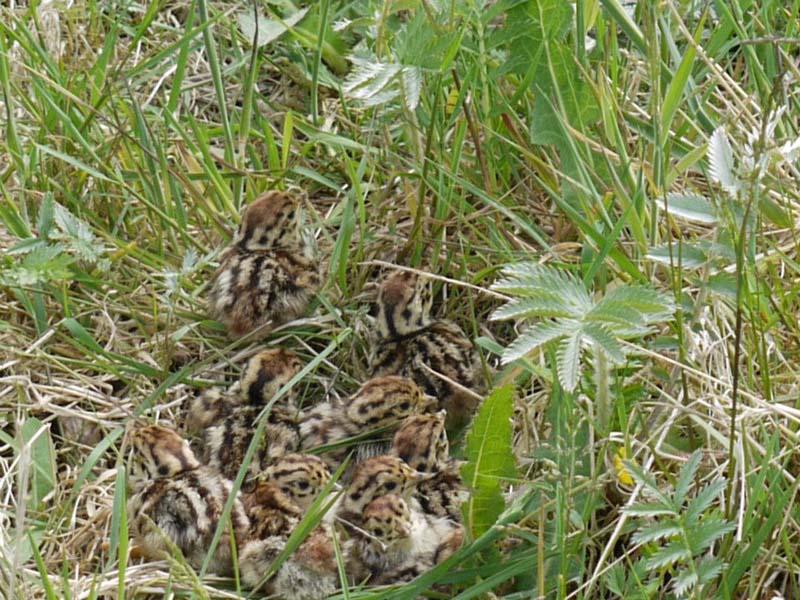 Nest of Grey Partridge Chicks Image byShane Sweeney