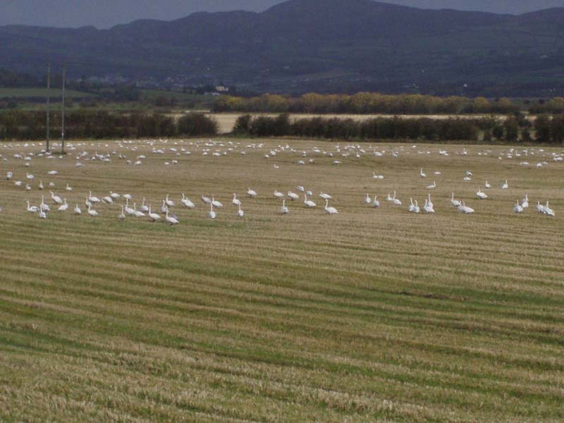 Whooper Swans Co.Donegal feeding on stubbleImage by Michael Martyn