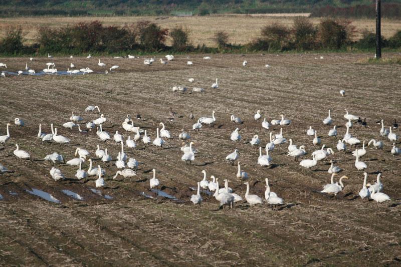 Whooper Swans feeding potatoesImage byAndrew Speer